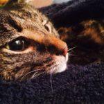 poorly cat in blanket