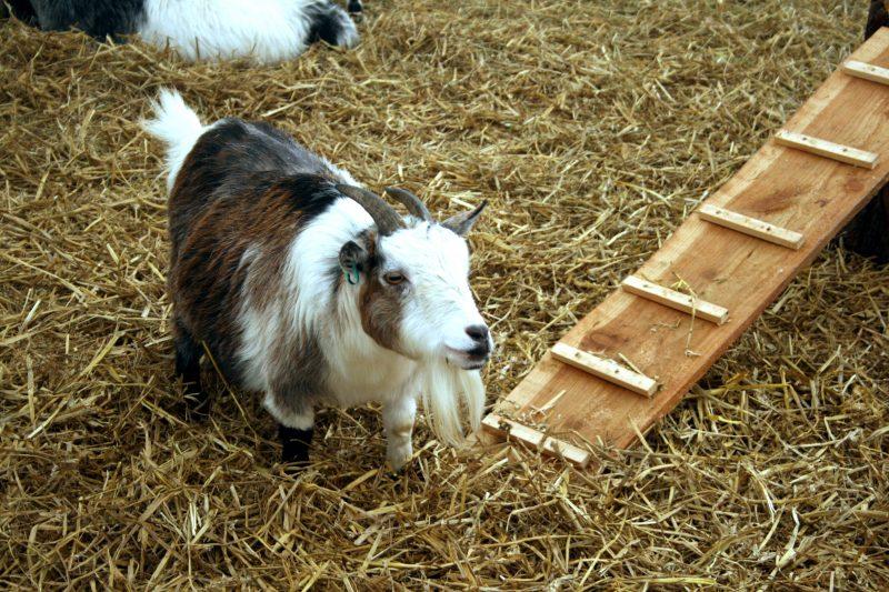 Goat at Becketts Farm