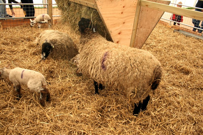 Ewe and Lambs Animals at Beckett's Farm