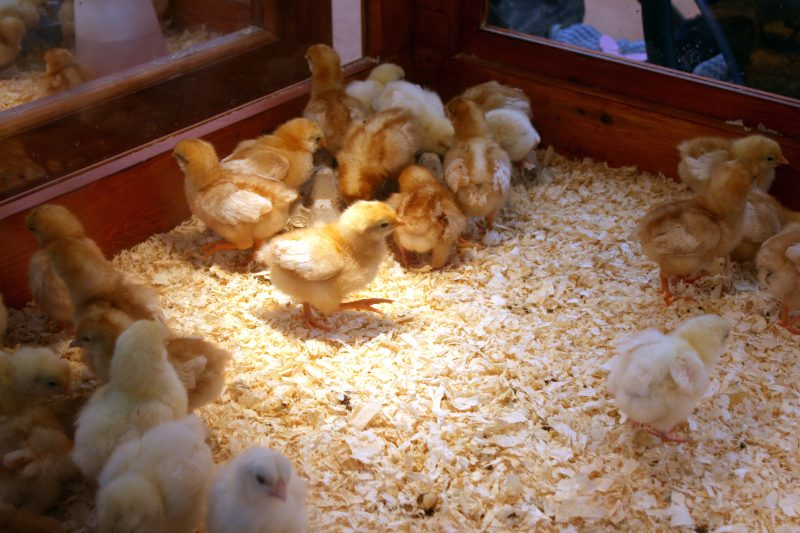 Freshly Hatched Chicks at Becketts Farm