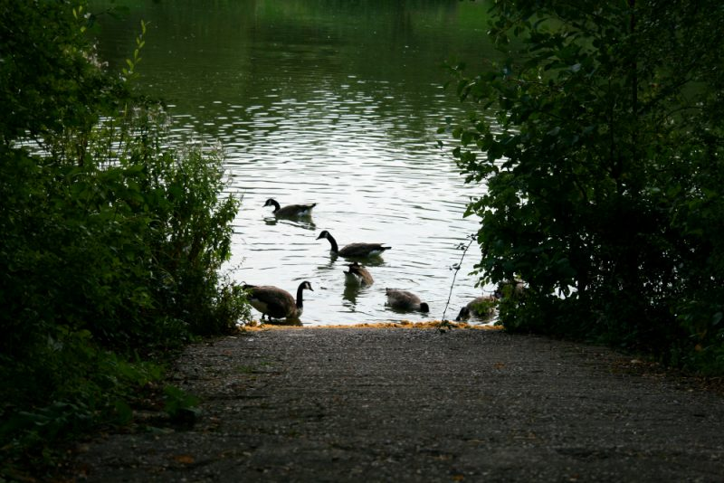 The Ducks at Arrow Valley Lake