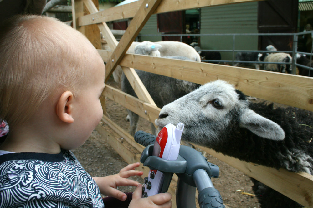 Toddler and a Sheep