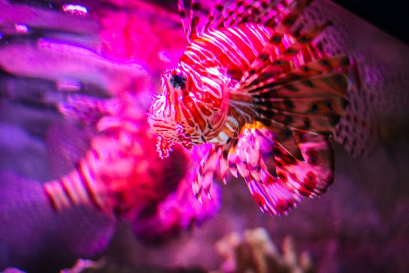 Lion Fish at the Sea Life Centre