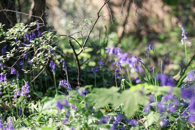A patch of bluebells on the way to the lake