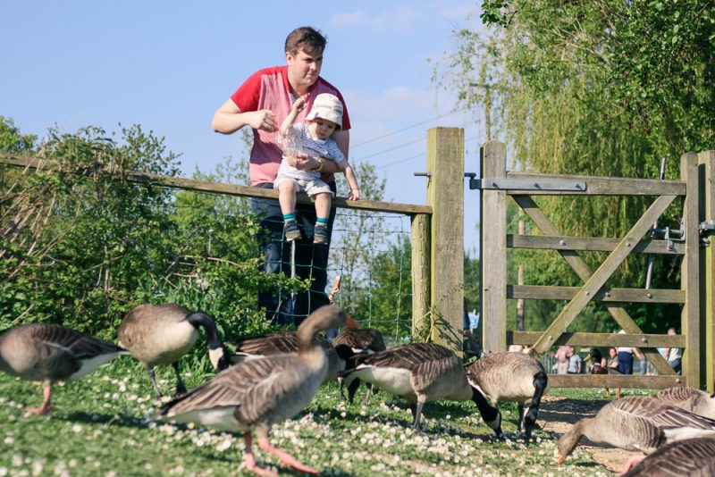 Throwing the duck food to the geese