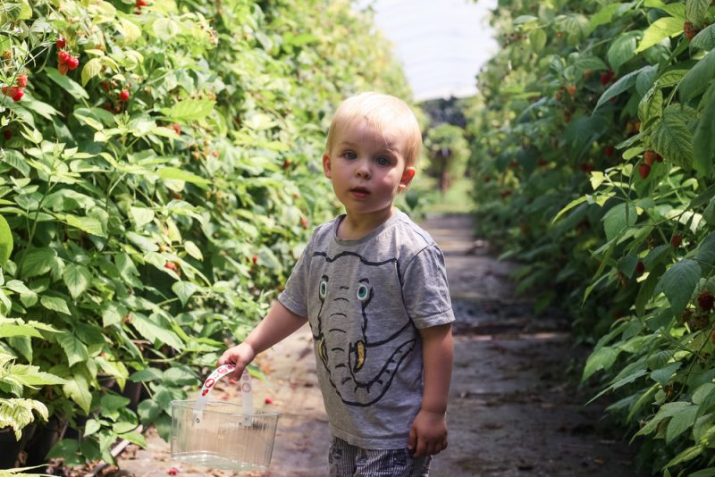 Pickle running through the raspberry plants at Clive's Fruit Farm