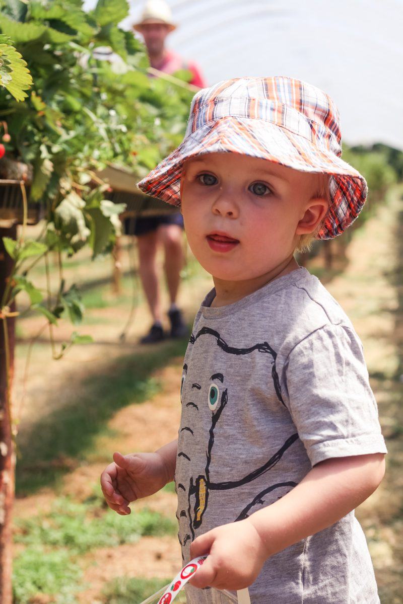Pickle very pleased with himself after picking his first strawberry at Clive's Fruit Farm