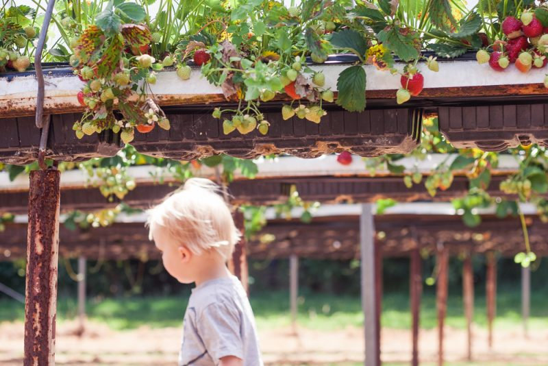 Pickle underneath the strawberry plants at Clive's Fruit Farm, Worcestershire