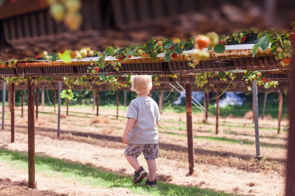 The strawberry plants at Clive's Fruit Farm are raised off the ground - a toddler's paradise to run underneath them!