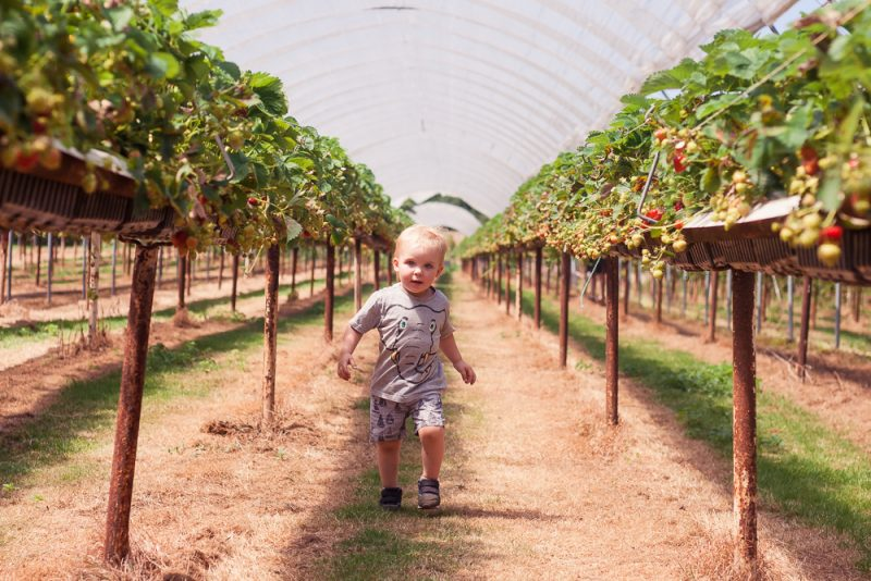 Running through the strawberry plants at PYO Strawberries Clive's Fruit Farm