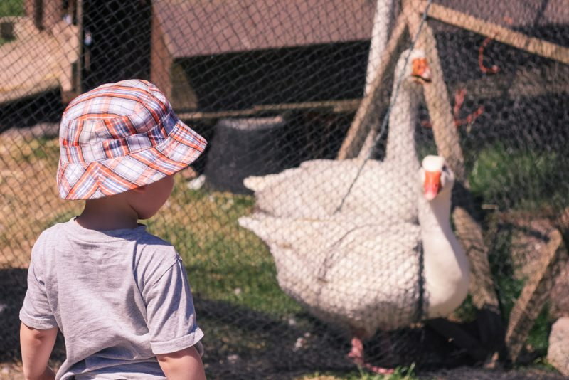The geese at Clive's Fruit Farm, Worcestershire