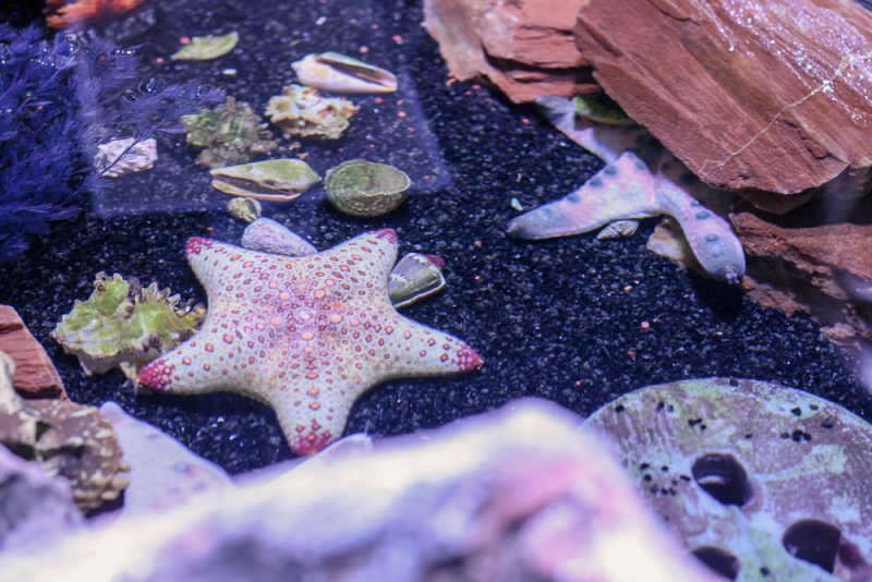 Starfish at the Sea Life Alton Towers