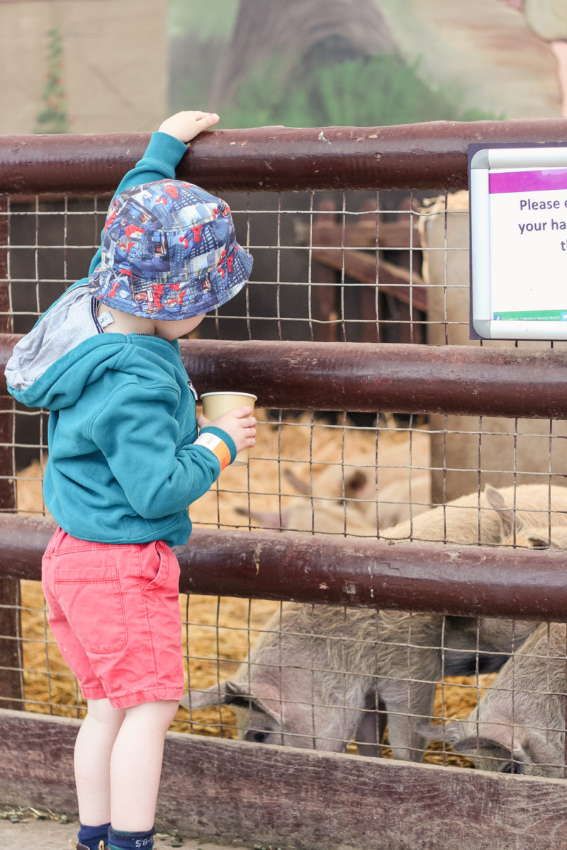 Feeding the pigs at Hatton Country World