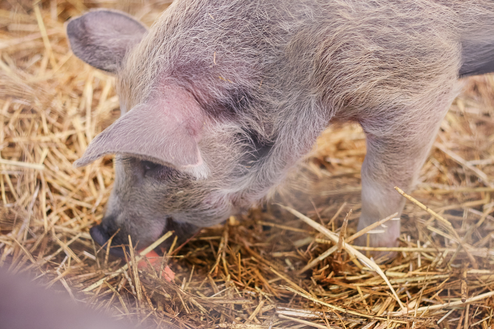 Close up of a piglet at Hatton Country World