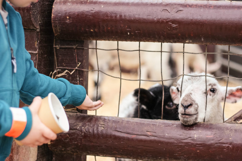 Feeding the lambs at Hatton Country World.