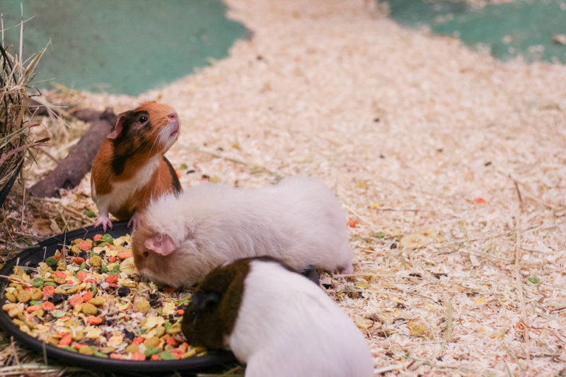 Guinea Pigs in the Hatton Guinea Pig Village