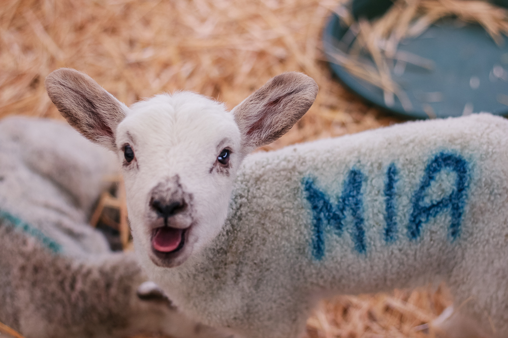 Mia the lamb at Hatton Country World