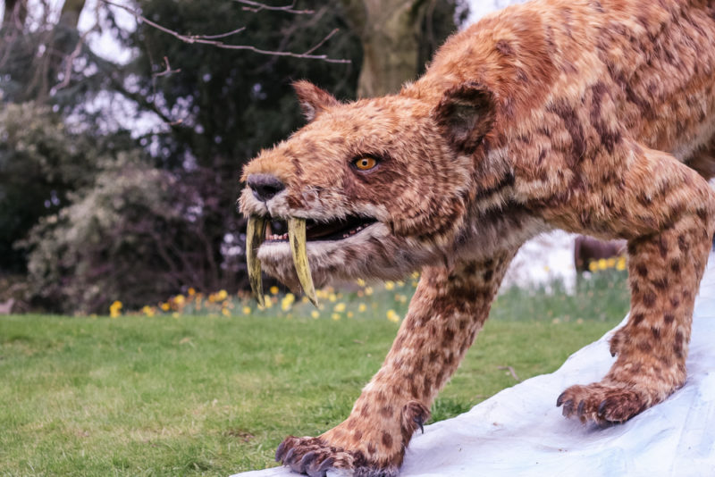 Sabre Tooth Tiger at Ice Age Birmingham Botanical Gardens