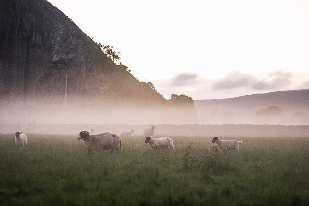 The sheep running across the field surrounded by mist by Kilnsey Crag