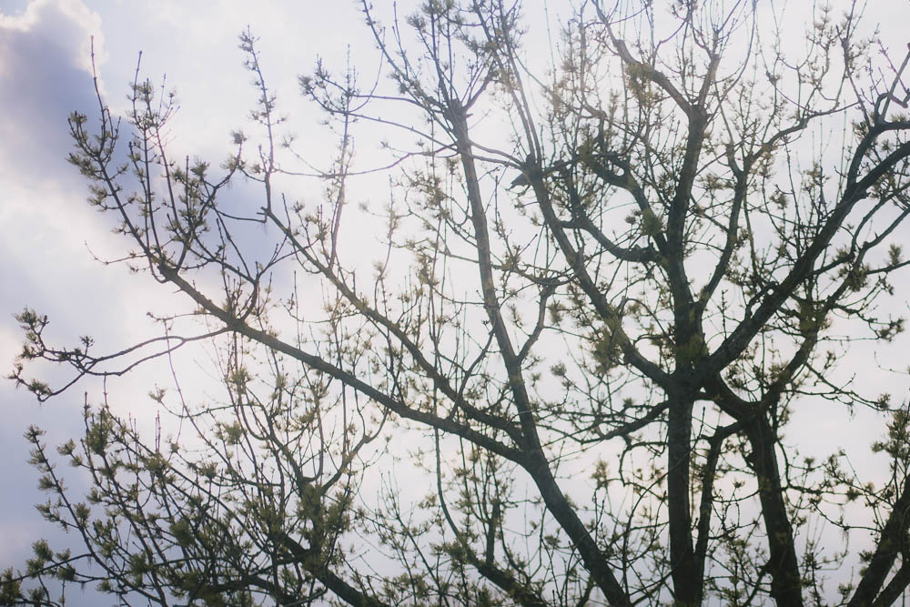 Branches of a tree with budding leaves