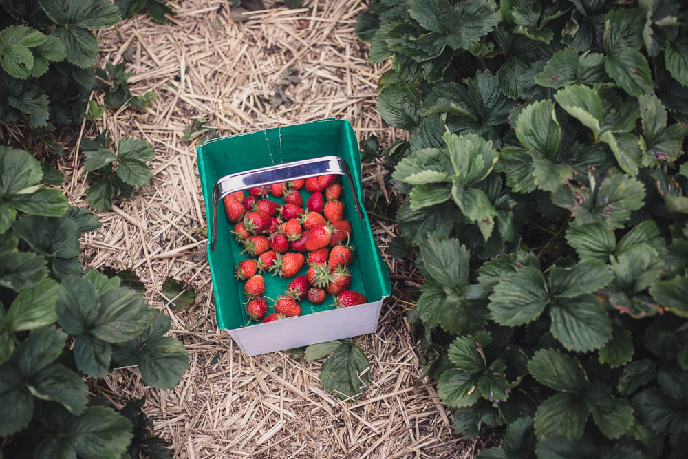 Basket on the floor filling up with PYO strawberries, surrounded by strawberry plants