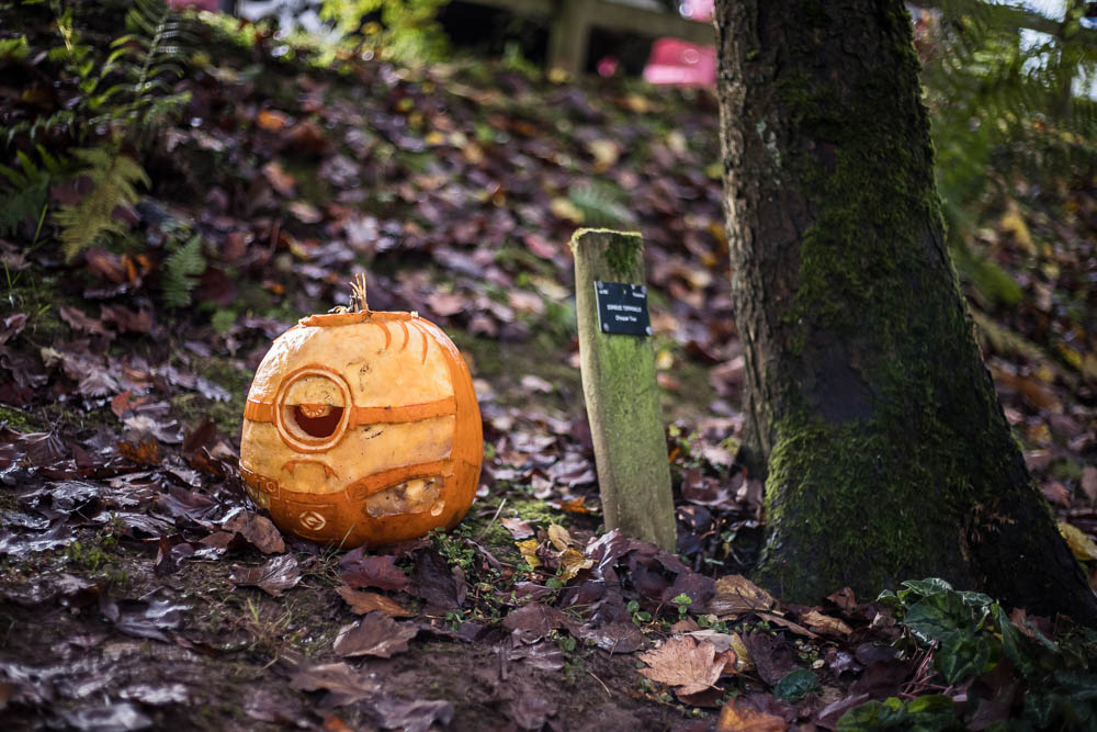A picture of a vampire Minion carved pumpkin as part of the Pumpkin Walk at Bodenham Arboretum